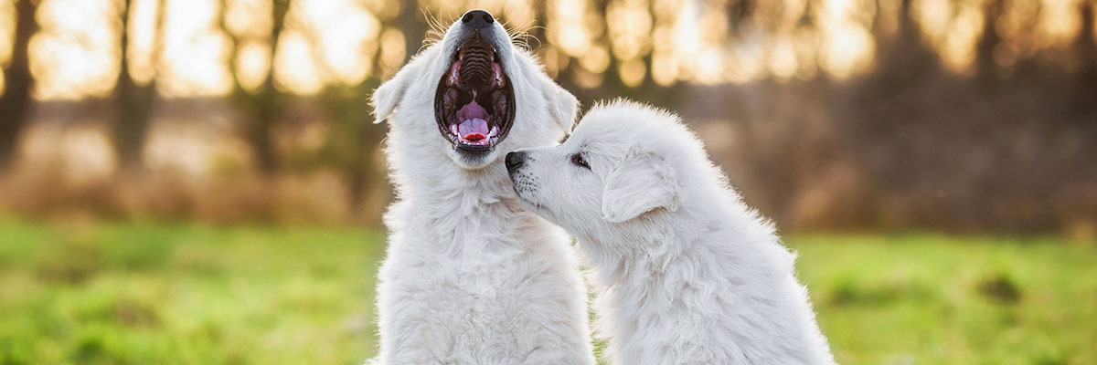 two white puppies in a park. One puppy is yawning