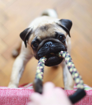 Pug playing tug of war with a rope toy