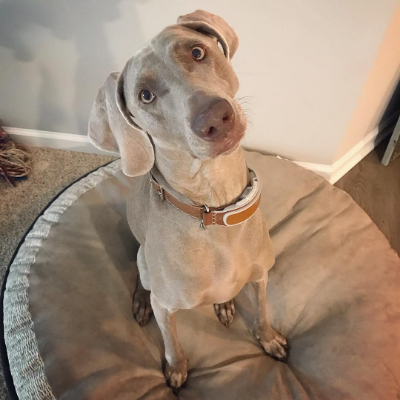 Weimaraner looking up at you with his head cocked while sitting in a dog bed