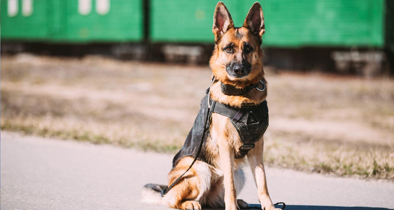 Police dog in uniform