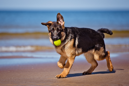 german shepherd puppy on the beach with a ball in his mouth