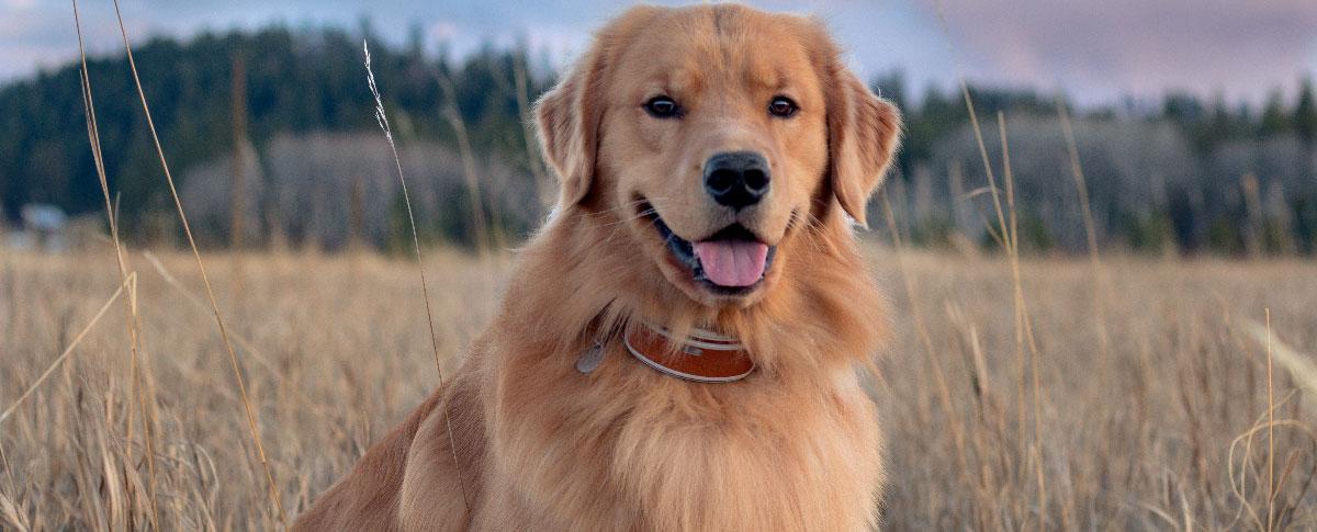 dog-temp-hero