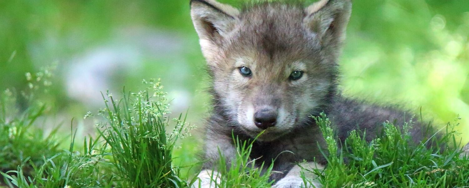 Wolf Puppies Play Fetch Too!